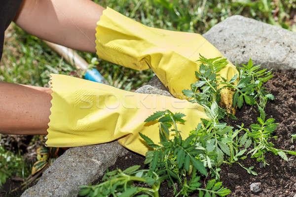 Detail vrouw hand tuinieren Geel rubberen handschoenen Stockfoto © artush