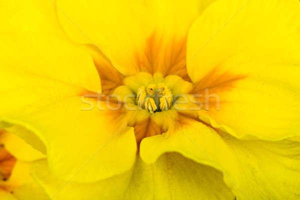 Flor amarela prímula macro primavera casa árvore Foto stock © artush
