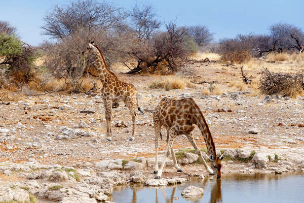 Giraffa camelopardalis drinking from waterhole in Etosha national Park Stock photo © artush