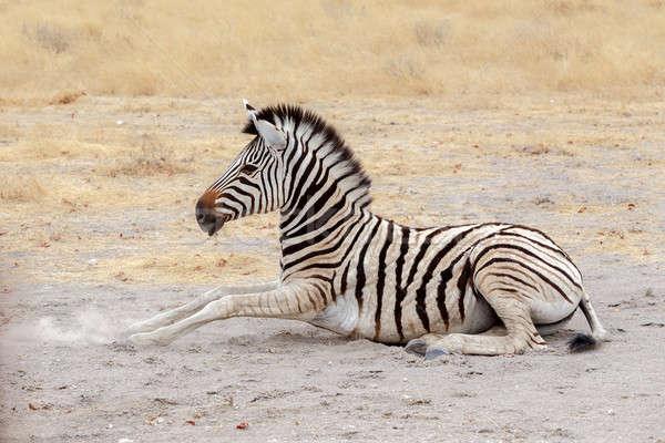 lying small Zebra in african bush Stock photo © artush