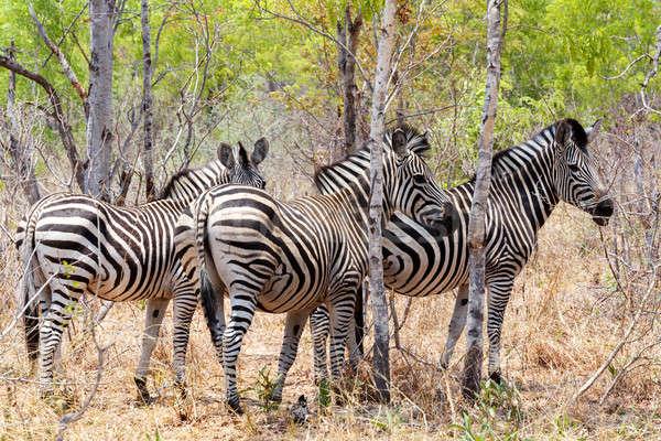Zebra tay Afrika ağaç çalı park Stok fotoğraf © artush