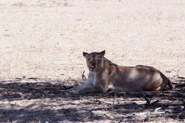 beautiful lioness in shade, Kalahari Stock photo © artush