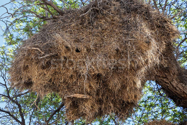 African sociable weaver big nest on tree Stock photo © artush