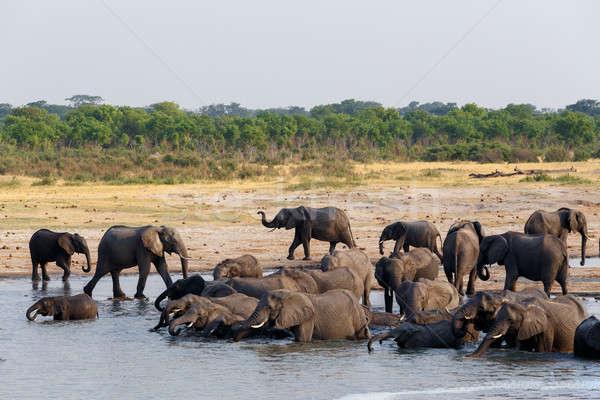 群れ アフリカ 飲料 入浴 ボツワナ ストックフォト © artush