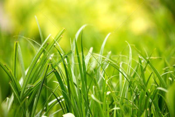 Hierba verde planta hoja dos color verde Foto stock © artush