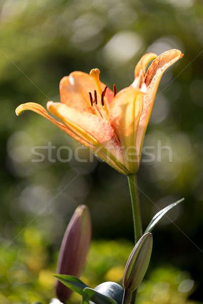 Detail of flowering orange lily Stock photo © artush