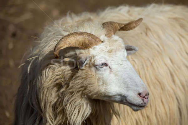 ram or rammer, male of sheep Stock photo © artush