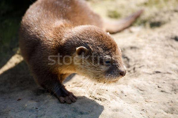 baby of European otter (Lutra lutra) Stock photo © artush