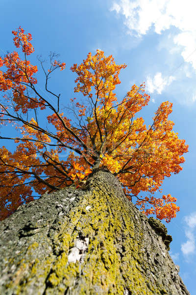 autumn colored tree top in fall season Stock photo © artush