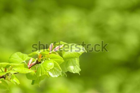 Green spring background with shallow focus and refflection Stock photo © artush