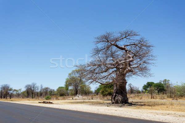 ツリー 古い ボツワナ ジンバブエ 国境 ストックフォト © artush