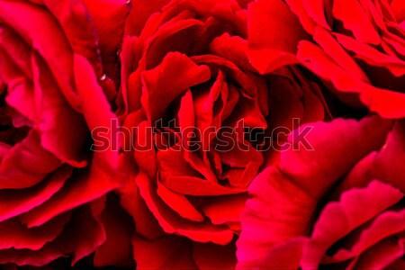 Schönen rote Rosen Makro Freien Liebe seicht Stock foto © artush