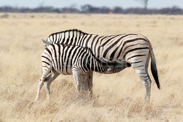 Zebra foal with mother in african bush Stock photo © artush