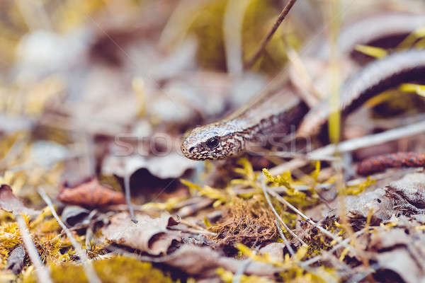 Slow Worm or Blind Worm, Anguis fragilis Stock photo © artush