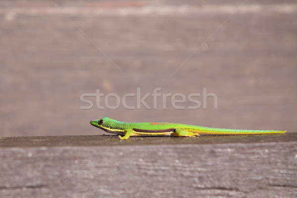 Stock photo: Lined Day Geckos (phelsuma Lineata Lineata)