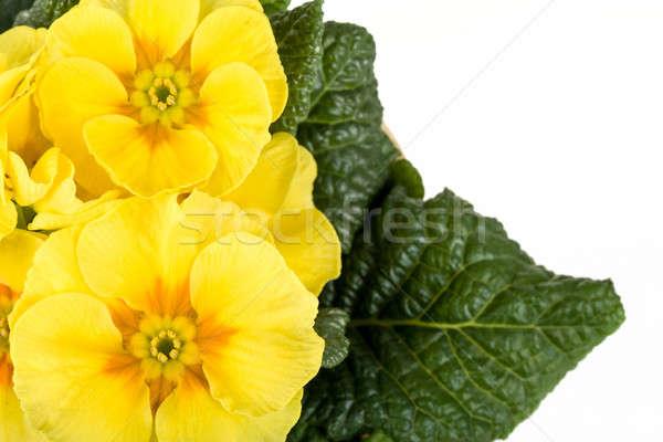 Flor amarela prímula macro isolado branco casa Foto stock © artush