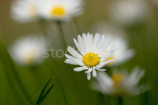 Pequeno margarida flor verde gramado raso Foto stock © artush
