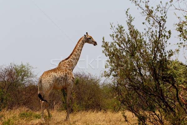 Giraffa camelopardalis in national park, Hwankee Stock photo © artush