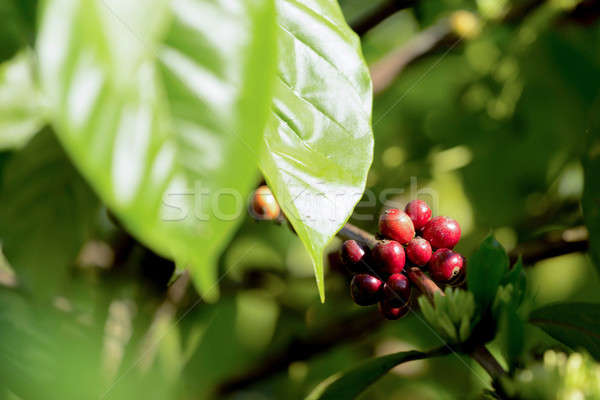 Stock photo: raw coffe plant in agricultural farm