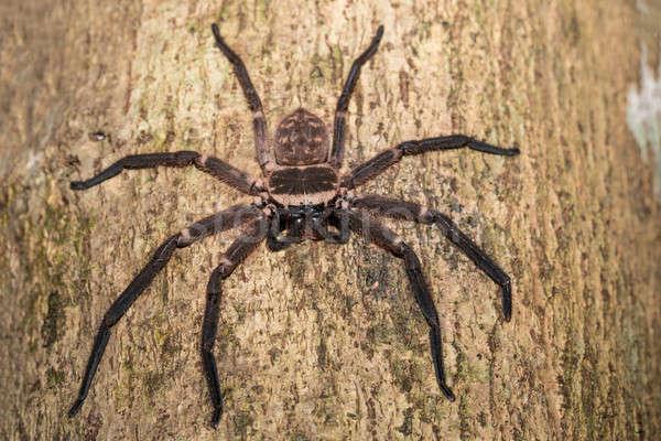 ビッグ クモ ツリー マダガスカル 木の幹 家族 ストックフォト © artush