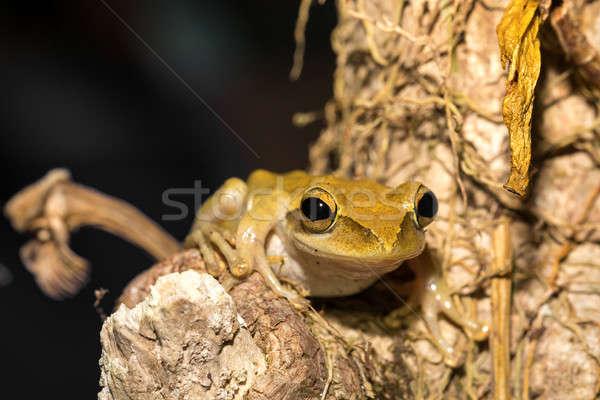Stok fotoğraf: Güzel · kurbağa · Madagaskar · tür · aile