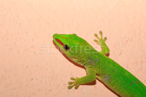 Phelsuma madagascariensis day gecko, Madagascar Stock photo © artush