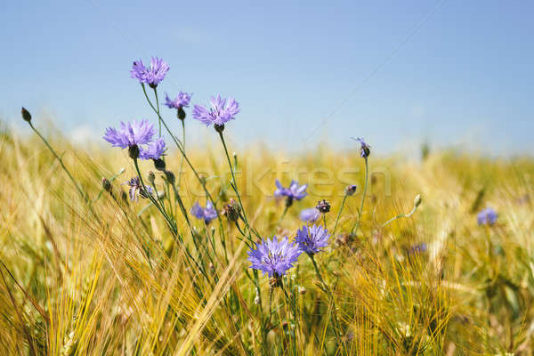 blue cornflowers in the wheat field Stock photo © artush
