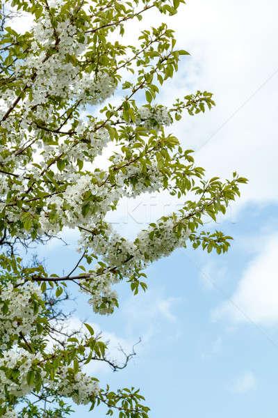 Manzana jardín primavera superficial enfoque Foto stock © artush