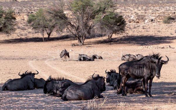 wild (Connochaetes taurinus) Blue Wildebeest Gnu Stock photo © artush