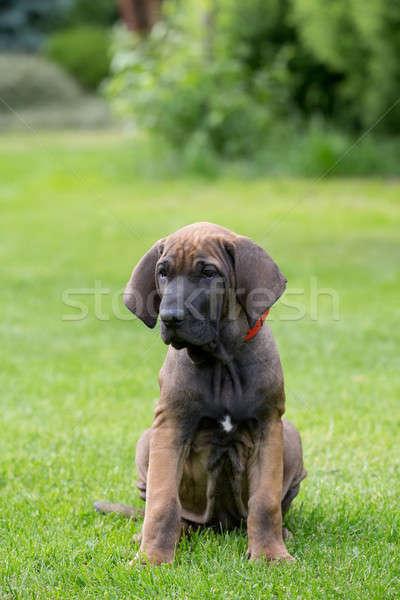 молодые щенков дог Открытый зеленая трава цветок Сток-фото © artush