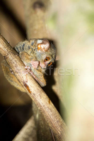 Tarsius spectrum,Tangkoko National Park, Sulawesi Stock photo © artush