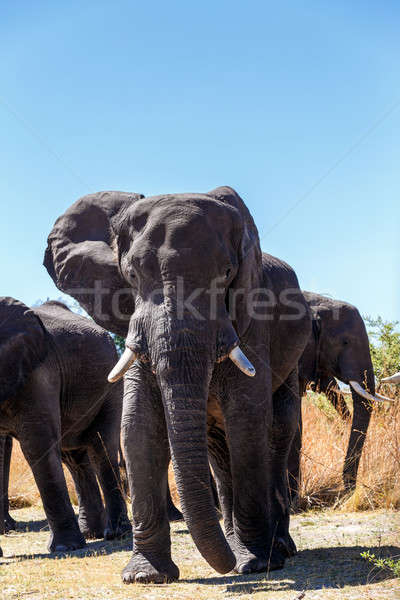 heard of african elephants Stock photo © artush