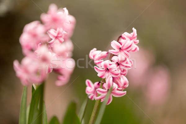 Pembe sümbül çiçek bahar bahçe Stok fotoğraf © artush