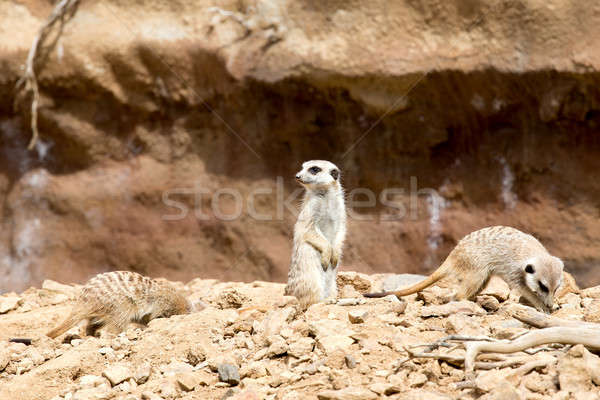 meerkat or suricate Stock photo © artush