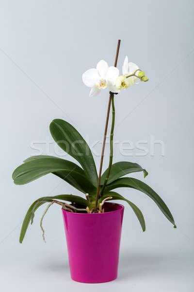 Romantyczny biały Orchidea puli szary studio Zdjęcia stock © artush