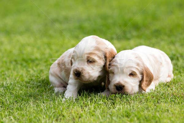 2 小 英語 子犬 24 ストックフォト © artush