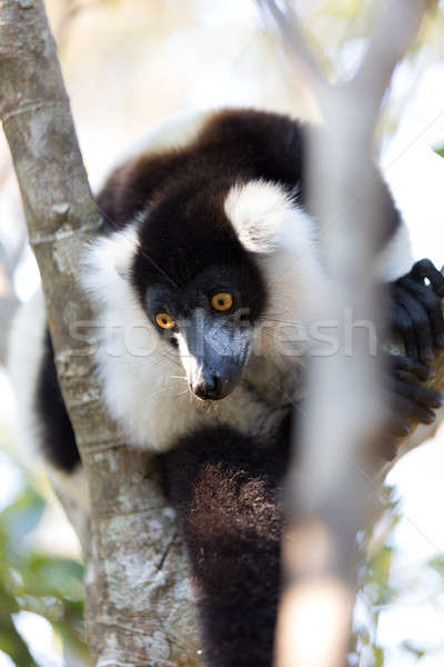 Black-and-white ruffed lemur (Varecia variegata subcincta) Stock photo © artush