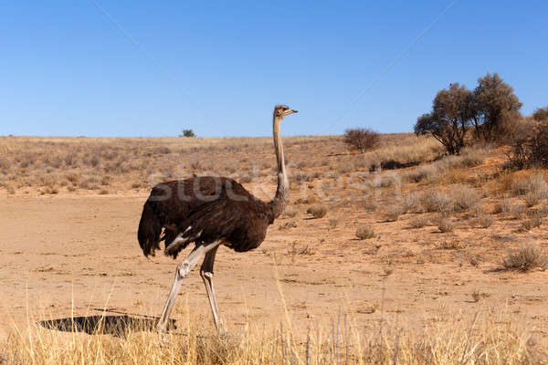 Ostrich, Kgalagadi, South Africa, safari wildlife Stock photo © artush