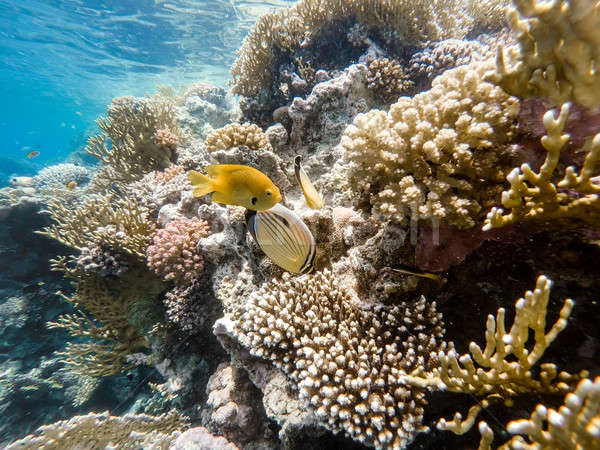 Sulphur Damselfish and Blacktail butterflyfish fish on coral gar Stock photo © artush