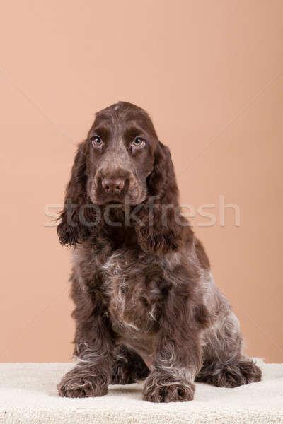 dog english cocker spaniel Stock photo © artush