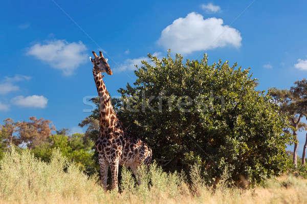 Dél-afrikai zsiráf Afrika vadvilág szafari gyönyörű Stock fotó © artush