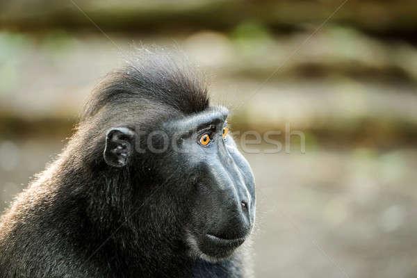portrait of Celebes crested macaque, Sulawesi, Indonesia Stock photo © artush
