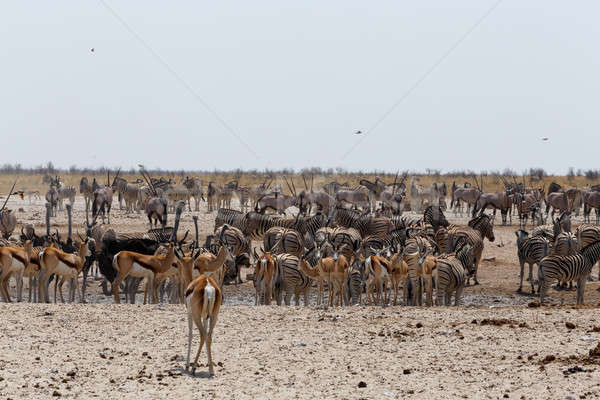 Zatłoczony dzikie zwierzęta zebry parku Namibia przyrody Zdjęcia stock © artush