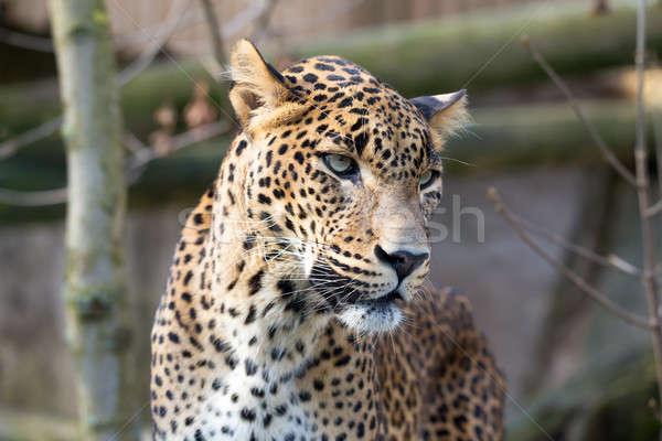 portrait of Persian leopard Stock photo © artush