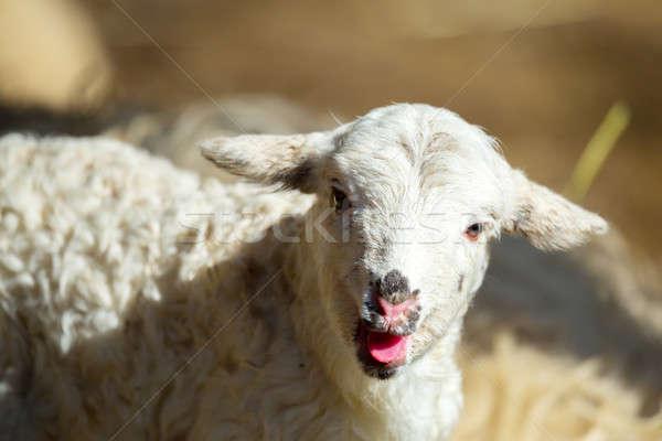 Sheep with lamb on rural farm Stock photo © artush