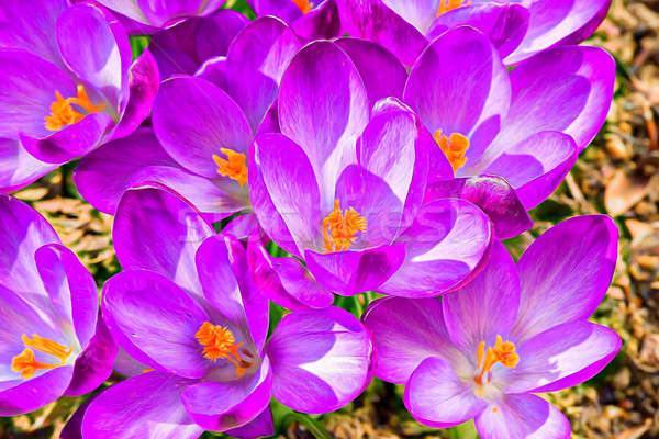 macro of first spring flowers in garden crocus abstract painting effect Stock photo © artush