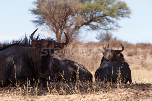 Azul África do Sul animais selvagens grama natureza Foto stock © artush