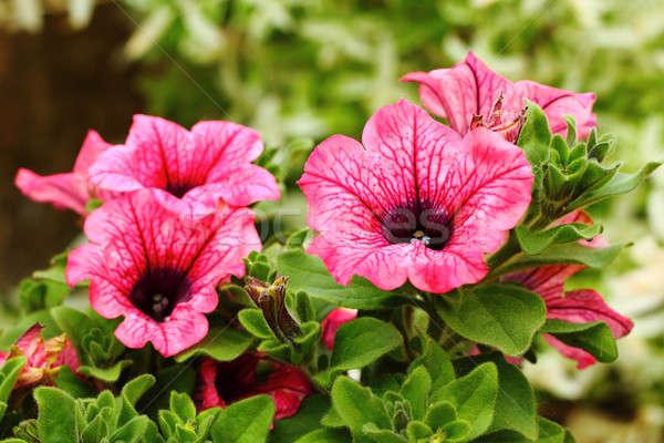 ピンク 静脈 庭園 背景 夏 緑 ストックフォト © artush