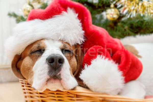 sleeping dog weared to santa hat Stock photo © artush