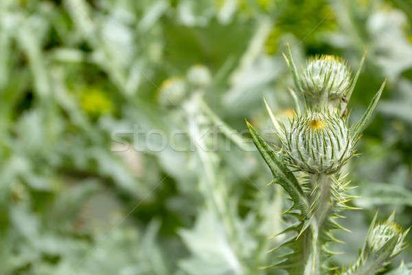 Photo stock: Printemps · magnifique · tous · très · tôt · naturelles · vert